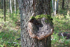 Inonotus obliquus στον κορμό ενός δέντρου Παρασιτικές εγκαταστάσεις στοκ εικόνες