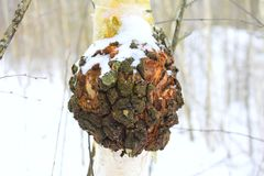 Inonotus obliquus, commonly known as chaga. Mushroom a Latinisation of the Russian term `чага`, is a fungus in the family Hymenochaetaceae. It is parasitic Stock Photography