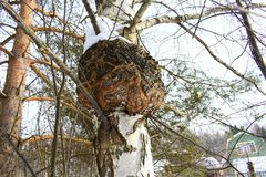 Inonotus obliquus, commonly known as chaga mushroom, is a fungus in the family Hymenochaetaceae. It is parasitic on birch and other trees, usually appearing Royalty Free Stock Images