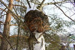 It is parasitic on birch and other trees, usually appearing after the host tree is dead. Inonotus obliquus, commonly known as chaga mushroom, is a fungus in the Stock Image