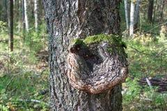 Inonotus obliquus sul tronco di un albero Pianta parassita immagini stock