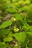 inoperante-provocação Verde-amarela da flor fotografia de stock