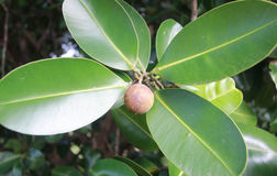 Inophyllum do Calophyllum Imagens de Stock Royalty Free