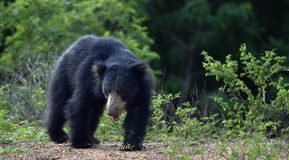 Inornatus ursinus Melursus медведя лени Sri Lankan Стоковые Изображения