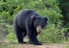 Inornatus ursinus Melursus медведя лени Sri Lankan Стоковые Изображения RF