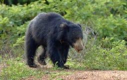 Inornatus ursinus Melursus медведя лени Sri Lankan Стоковые Фотографии RF