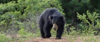 Inornatus ursinus Melursus медведя лени Sri Lankan Стоковое Фото