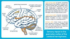 Input sensoriali alla corteccia di premotor dell'emisfero cerebrale Immagini Stock Libere da Diritti
