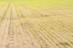 The inputs of the wheat field with sandy soil Stock Photography