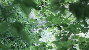 Inquadratura delle foglie e dei rami video d archivio