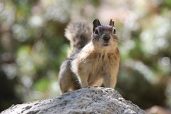 An Inquiring Ground Squirrel Stock Photography