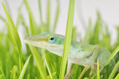Inquiry. An adorable anole lizard pokes her head out of a clump of grass Royalty Free Stock Photos