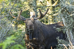 Inquisative Bull Moose Royalty Free Stock Photo