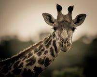 Inquisite żyrafa Zdjęcia Royalty Free