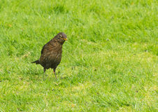 Inquisitive. A female blackbird listens for danger in the garden royalty free stock photo