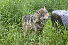 Inquisitive Adult Grey Wolf in Tall Grass stock photos