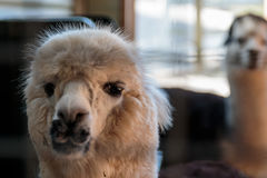 Inquisitive Alpaca Royalty Free Stock Image