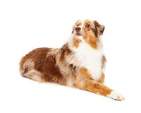 Inquisitive Australian Shepherd Dog Laying Royalty Free Stock Photography