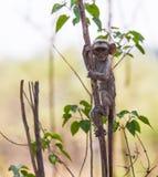 Inquisitive baby vervet monkey Stock Photo
