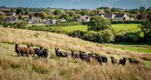 Inquisitive Black Sheep. A small inquisitive flock of black Hebridean, rare breed,  sheep. All in a row and looking in one direction Stock Images