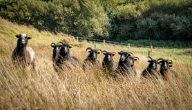 Inquisitive Black Sheep. A small inquisitive flock of black Hebridean, rare breed,  sheep. Checking me out Stock Photos