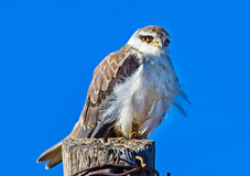 Inquisitive Blackshouldered Kite on telephone pole Royalty Free Stock Image