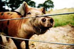 Inquisitive brown pig Stock Photo