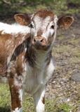 Inquisitive calf Stock Photo