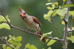 Inquisitive Cardinal royalty free stock photos