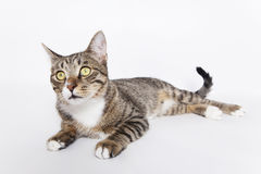 Inquisitive Cat. Lying on the white Royalty Free Stock Photos
