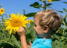 Inquisitive child considers sunflower in the field Royalty Free Stock Images