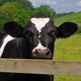 An inquisitive cow Stock Photos