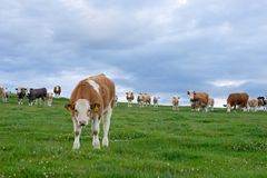 Inquisitive cows in a field Royalty Free Stock Image