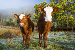 Inquisitive Cows Stock Photo