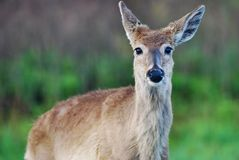 Inquisitive Deer Royalty Free Stock Photo