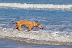 Inquisitive dog wading in sea. Inquisitive, but apprehensive dog, wading in sea royalty free stock photos