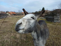 The Inquisitive donkey by a fence Royalty Free Stock Photos