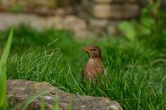 Inquisitive female blackbird. Royalty Free Stock Photo
