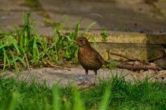 Inquisitive female blackbird. Stock Photo