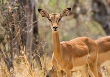Inquisitive female impala Stock Photos