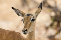 Inquisitive female Impala Stock Photos