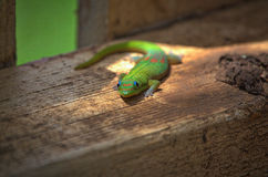 Inquisitive gecko. Beautiful multi-colored gecko on Maui Royalty Free Stock Photo