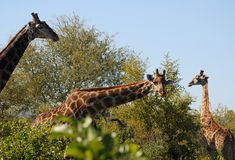 Inquisitive giraffe. In the Kruger National Park Stock Photos