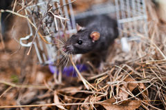 Inquisitive glance rodent Stock Photography