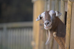 Inquisitive Goat. Eith long beard staring out of pen Royalty Free Stock Images