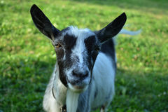 Inquisitive goat. The domestic goat is a subspecies of goat domesticated from the wild goat of southwest Asia and Eastern Europe Stock Image