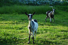 Inquisitive goats. The domestic goat is a subspecies of goat domesticated from the wild goat of southwest Asia and Eastern Europe Stock Image