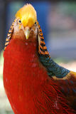 Inquisitive Golden Pheasant Royalty Free Stock Photos