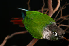 Inquisitive Green Cheek Conure. Curious Conure on Tree Branch stock image