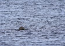 Inquisitive Grey Seal Royalty Free Stock Photo